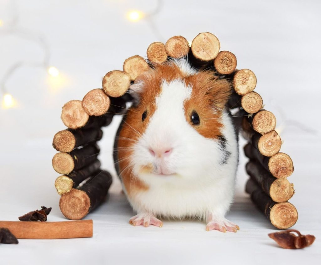 Guinea pig fun facts